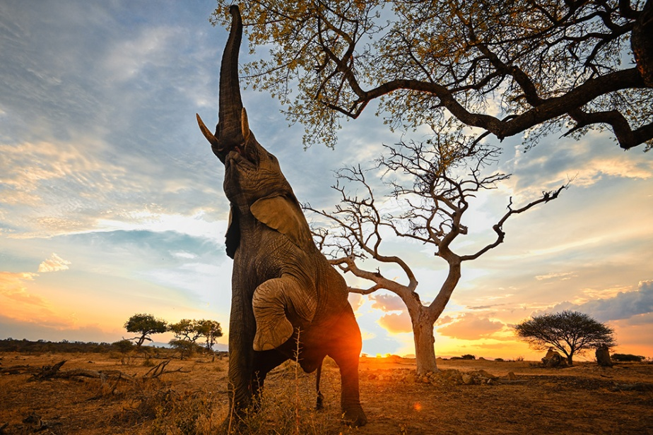 """Fermented Fruit of the Ancient """"Elephant Tree""""…"""